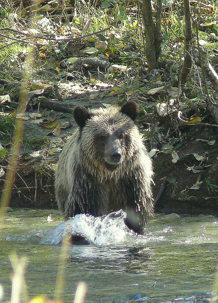 One of the Grizzly bears we saw at Bute Inlet on the BC mainland; they were all after the spawning salmon and it was a sight to behold!