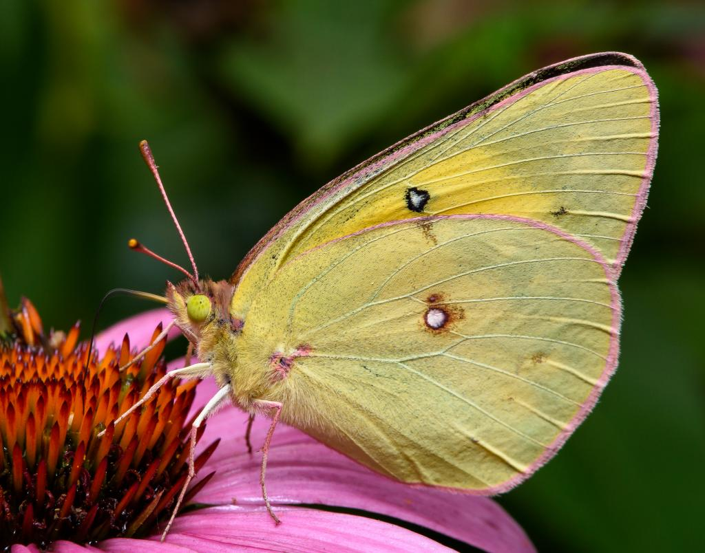 A sulfur butterfly, with its  proboscis deep into the echinacea, enjoying the nectar.