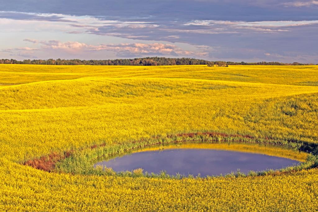 Last rays of sun caress this canola field near Leask Saskatchewan.  We must continue to grow our own food for our food security.