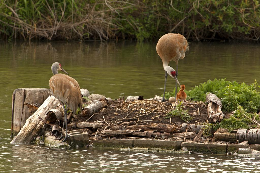 """The Reifel bird sanctuary is working hard to ensure that the sandhill cranes have a home that meets their needs.  2016 saw the laying of two eggs, the first of which has hatched here.  The first chick did survive several months, and then while it is unknown what happened, it is suspected that it was a victim of predation. The adult male crane has since also died of a benign tumour, but at the ripe age of 27 yrs.  The good news is that the """"widow"""" has found a new partner, so hopefully there will be more chicks."""