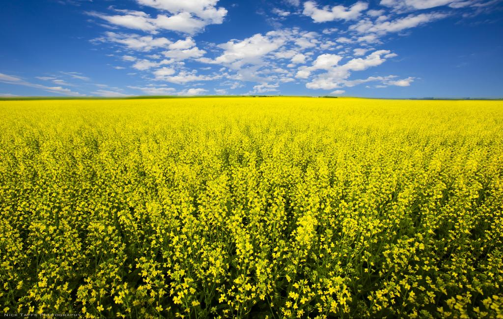 The fragrant smell of Canola fills the prairie air throughout the summer. This is a very common sight in big sky country. As a photographer, these fields offer endless opportunities to spark creativity especially when supercell storms roll in.