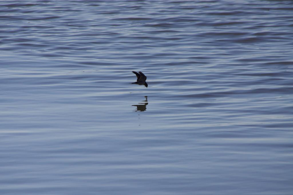 A skimmer bird on the hunt for lunch – or dinner. Paired with glimmering waters and a sky-high altitude, the feathered fauna of Canada would make just the ideal tour guide.