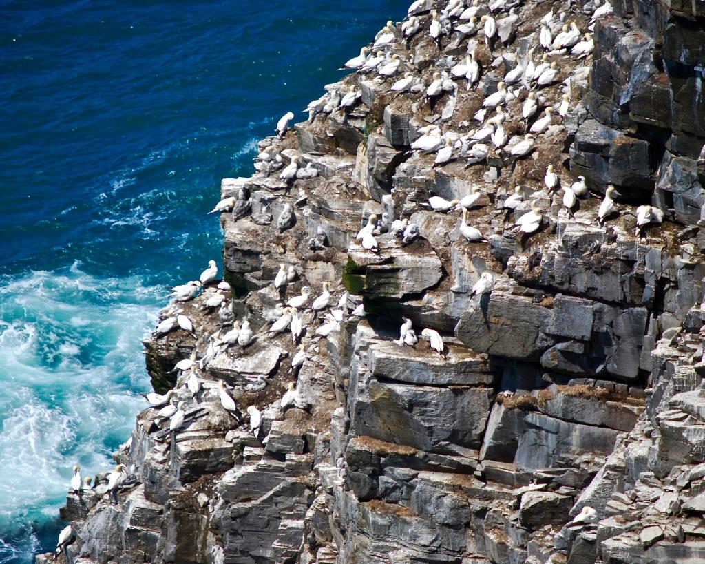 Just south of Saint Bride's, Newfoundland, Cape Saint Mary's Park Reserve is home to thousands of nesting seabirds. Northern gannets are easy to watch making their nests on Bird Rock, a 100 metre sandstone stack on the park's rugged coast.