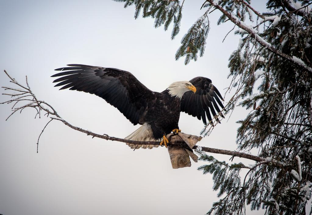 Eagle trying to get food scraps from a piece of cardboard