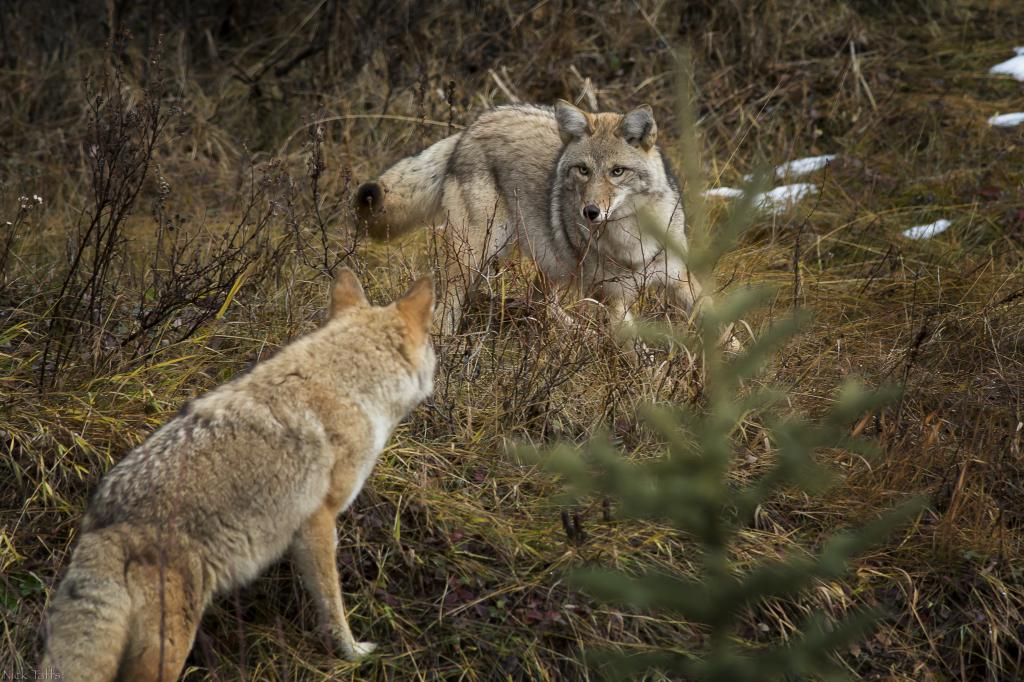Two coyotes intensely stare each other down as they cross paths in Kananaskis Alberta.
