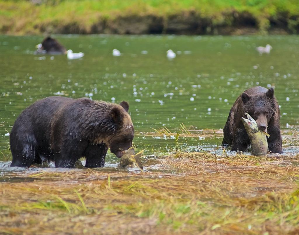 This was the beginning of an eight-day photo shoot in the Great Bear Rainforest. After a day a rain, and a day of no bears, we drifted around the corner in Muscle Bay, and there were these two Grizzly cubs catching their lunch, with mum keeping a watchful eye out.