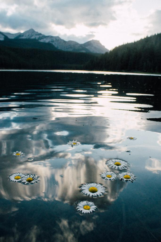 Floating daisies in Chinook Lake at sunset