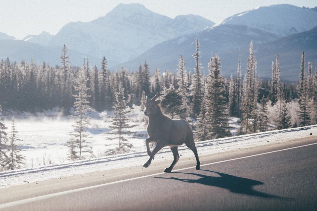 Mountain goat crossing the road in Jasper National Park