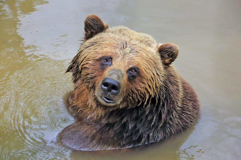 Grizzly bear cooling off on a warn day in Knight Inlet.