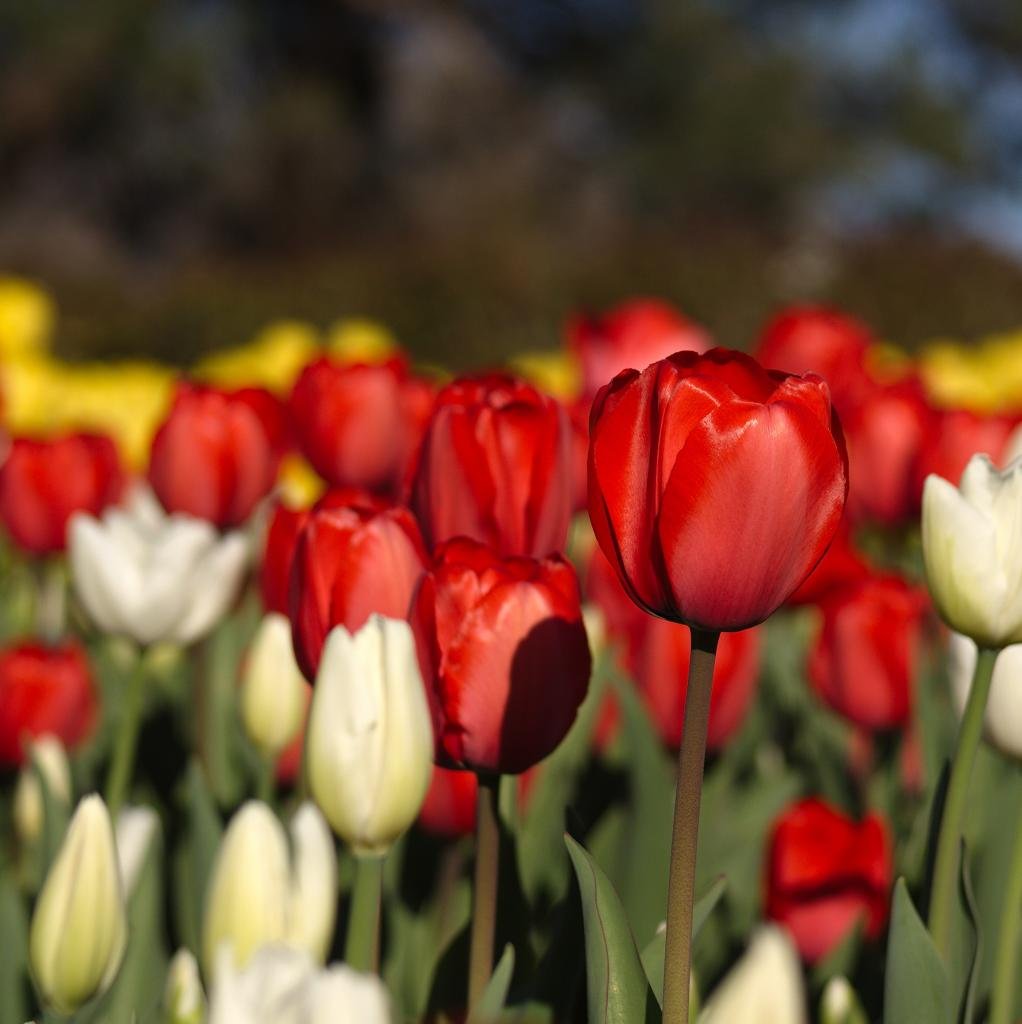 Following World War II, Princess Juliana of the Netherlands presented a gift of 100 000 tulips bulbs to Canada, as a thank you for helping the Royal Family during their exile.  Starting in 1953, the Tulip Festival was created in the city of Ottawa, which occurs each May.  The 2017 Tulip Festival will be the 65th anniversary!  This picture is from the 2016 festival.