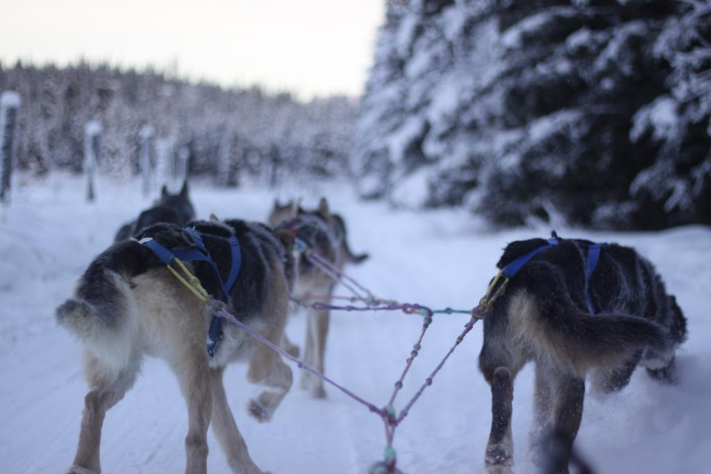 Capturing the rush of the dog sled as a team races across the great wilderness of Yukon.