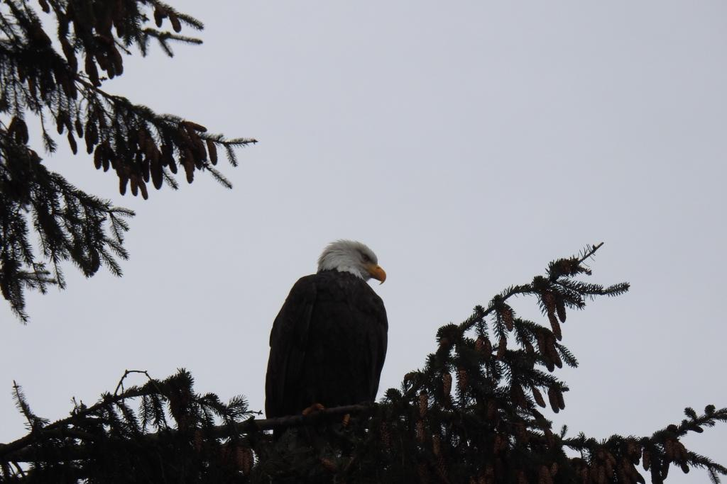 I spotted an eagle in the tree beside the Cheakamus river in Squamish B.C.