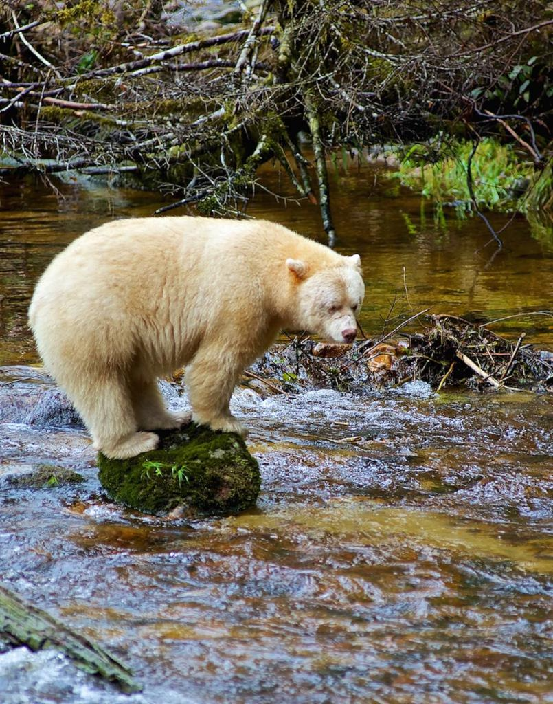 After waiting for five hours, this moksgm'ol (Kermode) bear showed up to go fishing in the pool in front of our blind.