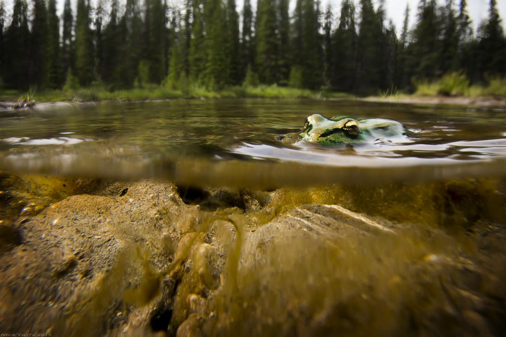 For this shot I made a waterproof housing with a piece of glass, a roll of duct tape and a ziplock bag. I spent the morning chasing frogs around along the Bow river in Canmore Alberta. This was the most patient frog I could find.