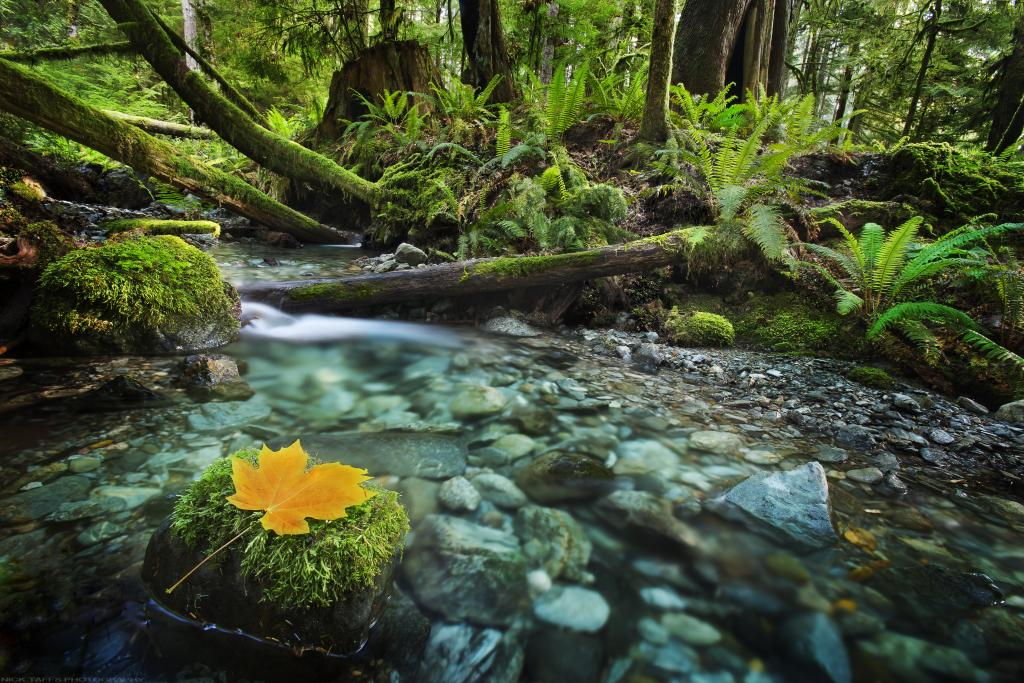 In the interior of Vancouver Island, lies this little gem of a creek that meanders its way through the rainforest before reaching the ocean. The trees in this area were particularly large which gave the location a special ambiance while shooting this image. It is truly a magical place.