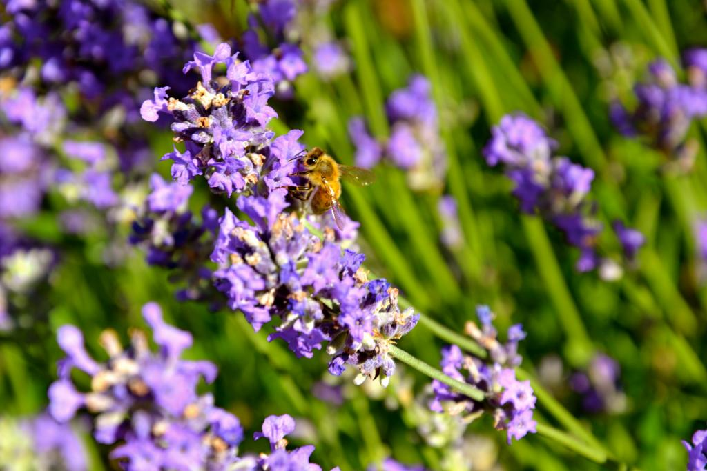 A honey bee is hard at working among the lavender flowers in Penticton, B.C.