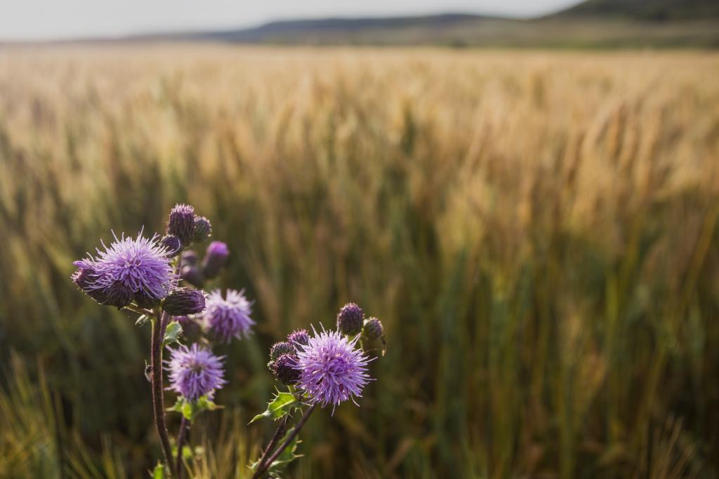 A Canadian Thistle in front of a farmers field.  Canadian thistles are often seen as a weed and farmers do all that they can to get rid of them but the thistle also has a sense of beauty.