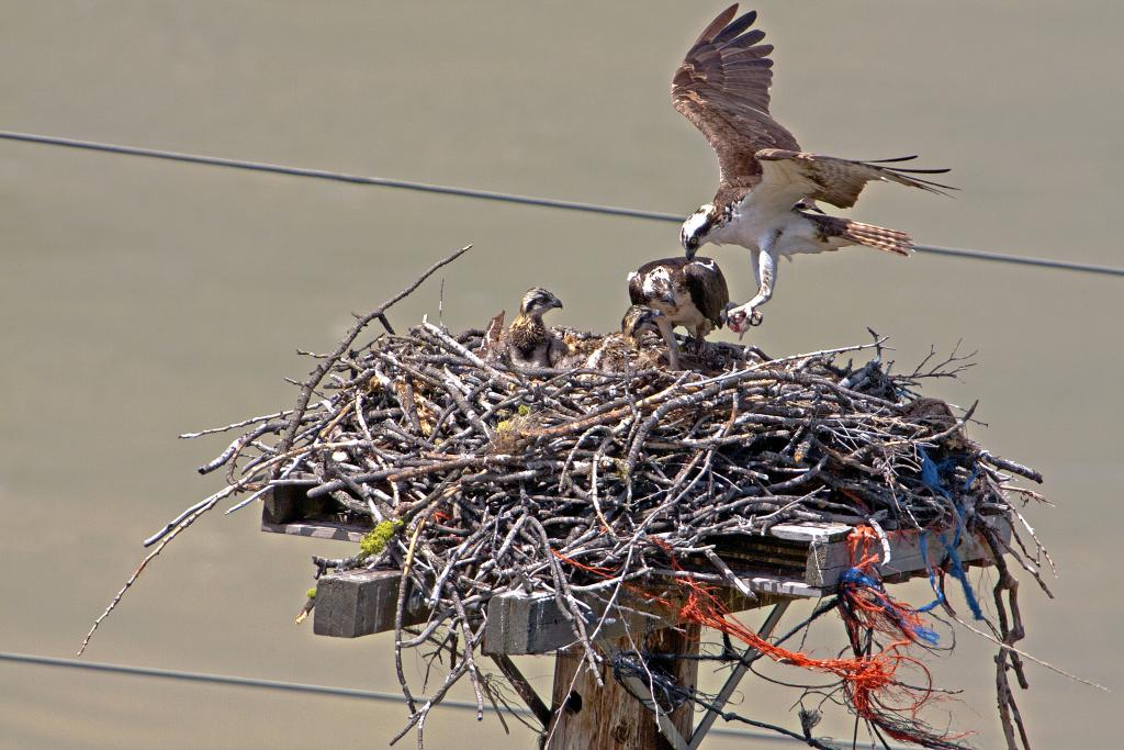 This osprey family resides right beside the bridge over the Fraser in Lytton B.C.  One of the parents is returning to the nest with food for the chicks.