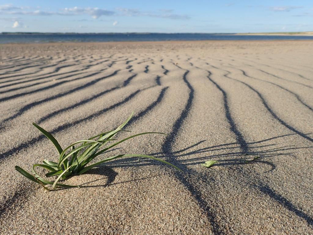 Plants can live in incredible range of environments: hot or cold, wet or day, battered by or sheltered from the wind. This plant was growing on an exposed sandy beach along Lake Diefenbaker, Saskatchewan.