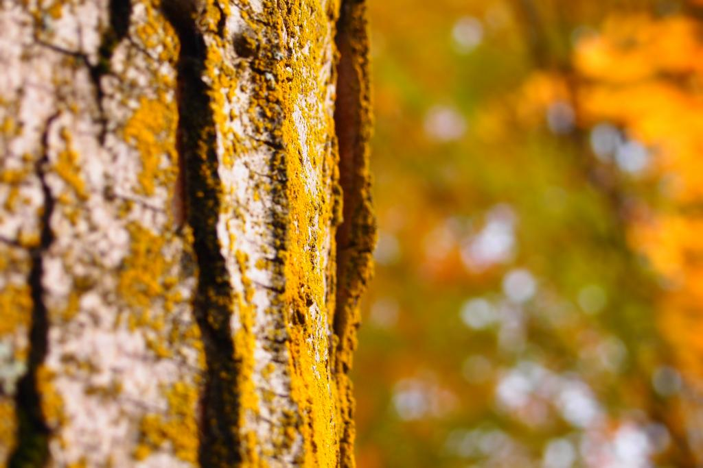 Nothing more golden than the stunning aura of an autumn tree bark.
