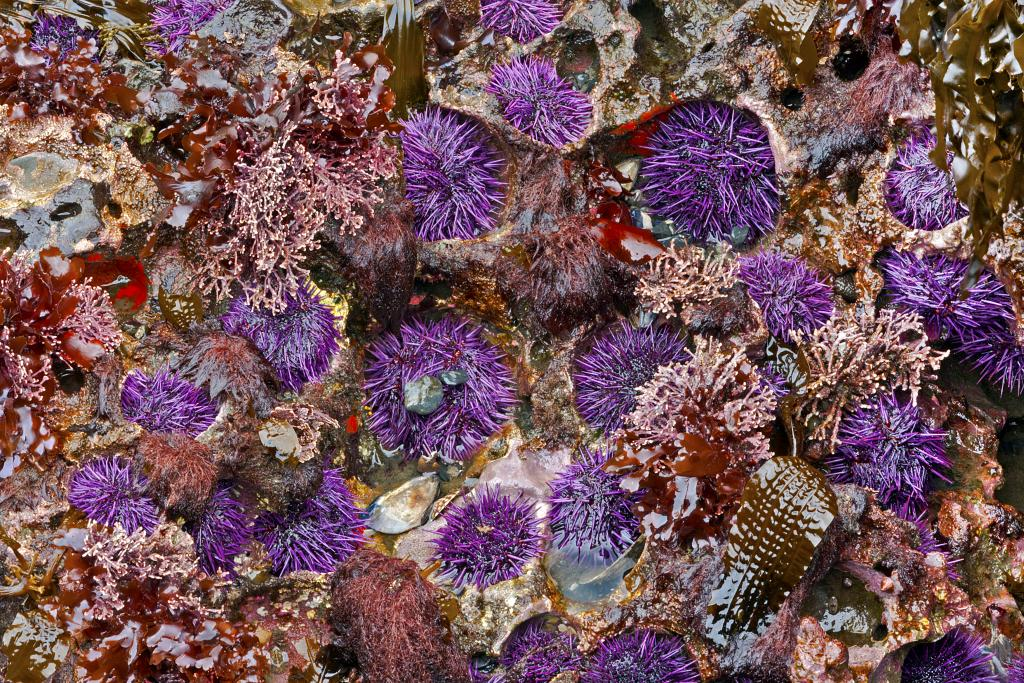 Purple urchins, actually burrowing into the substrate, seems to dominate the complexity of life forms in the large tide pools exposed at the extreme low tides on Botanical Beach in Port Refrew, B.C.  What effect, if any will global warming have on these communities, I wonder?