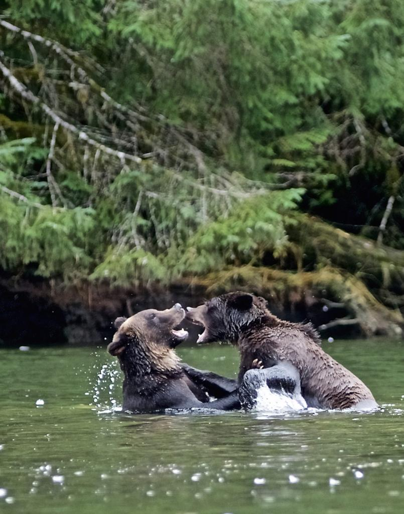 Not the typical version of young male grizzly bears