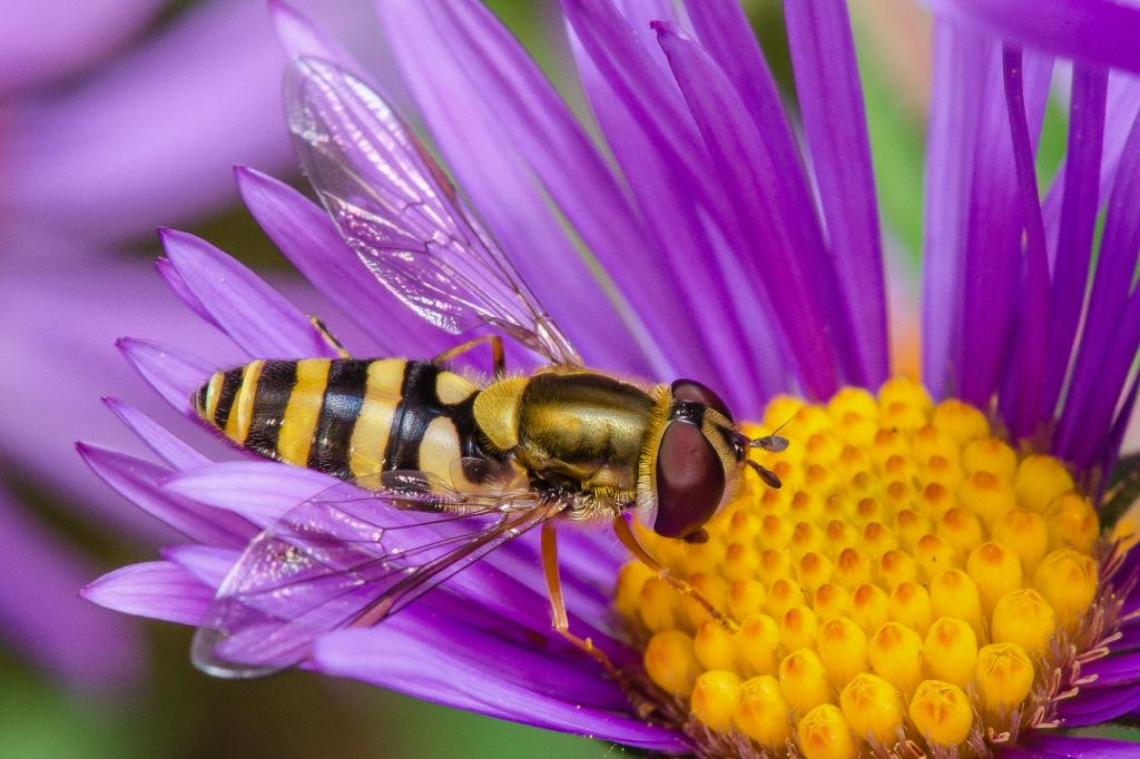 A hoverfly hard at work spreading pollen among some beautiful New England Asters.