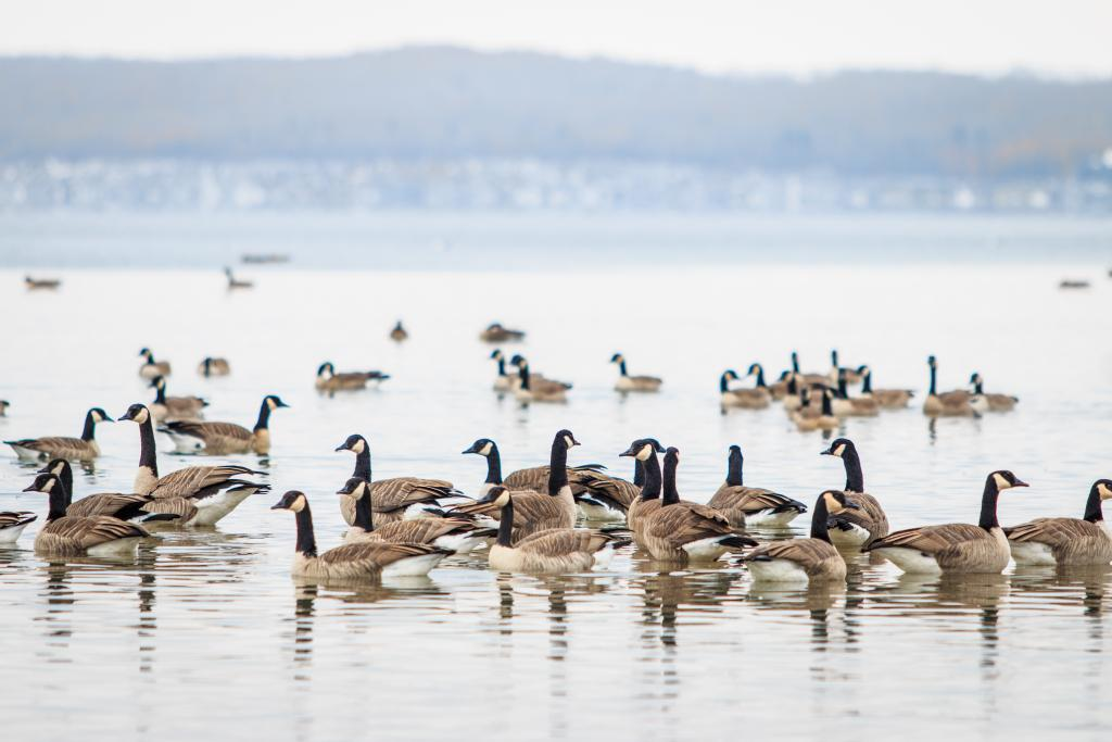 A flock of Canadian Geese making a pitstop in Sylvan Lake, Alberta before they continue their migration for the winter.