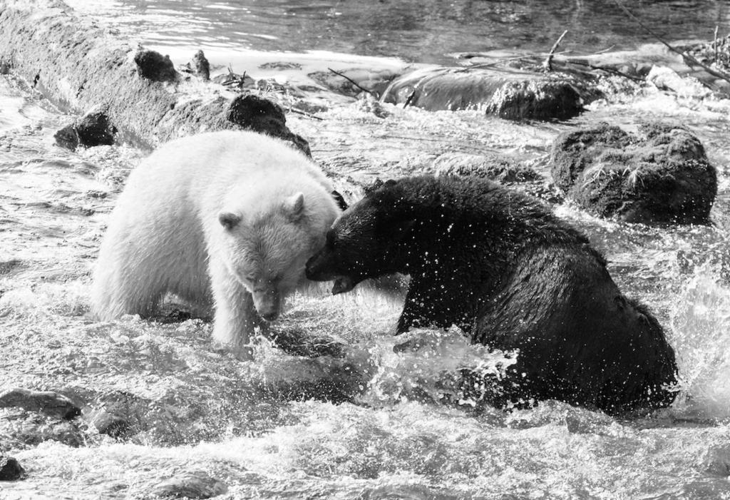 """The black bear was a new male arriving to fish on the river. The white bear soon showed up to defend his territory, the altercation lasted less than two minutes, neither bear was hurt, but the newcomer left the river quickly! Not the """"Spirit Bear"""" image usually promoted."""