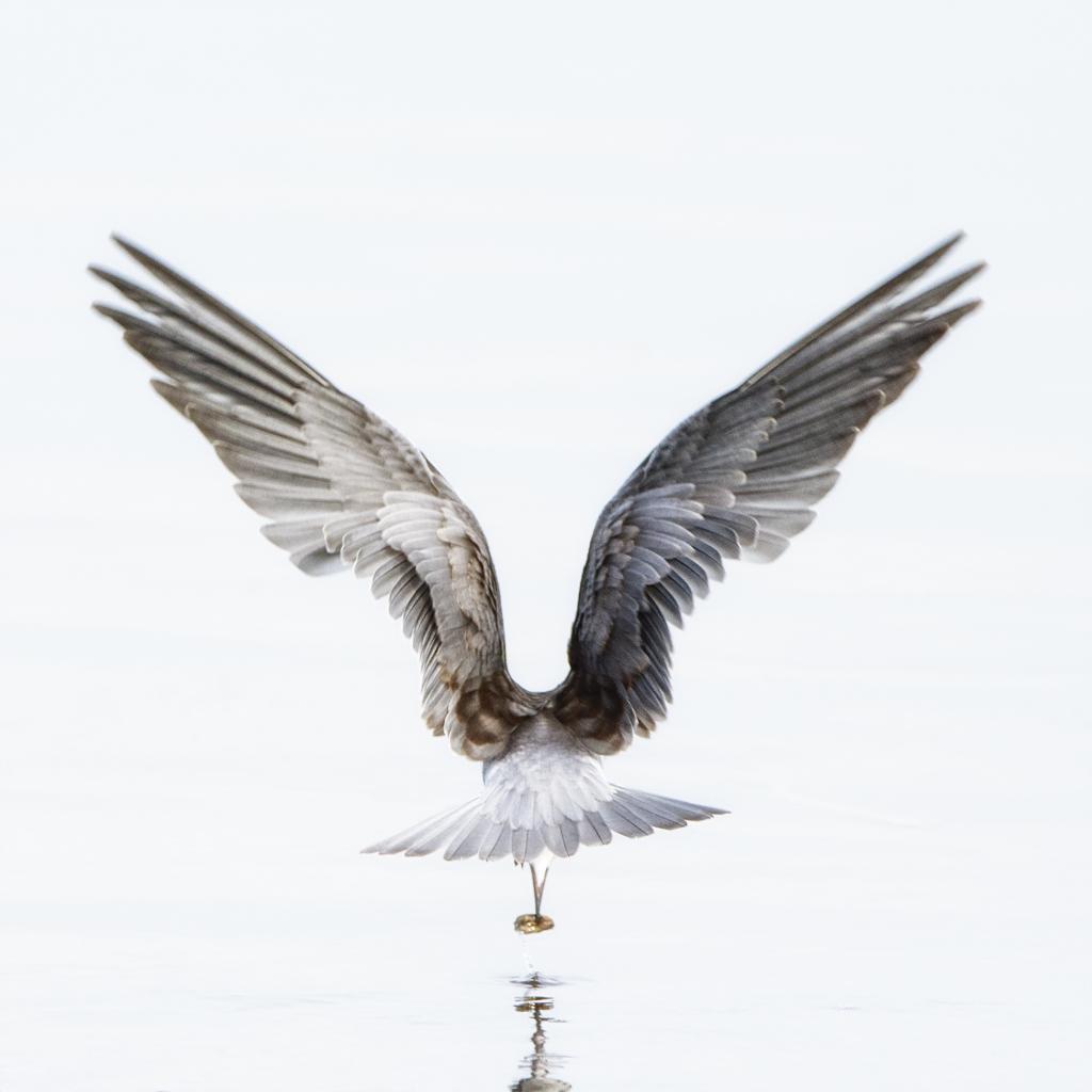 Tern diving for food at Weed Lake near Calgary Alberta. Nikon 7200, 500 mm F4 lens handheld.