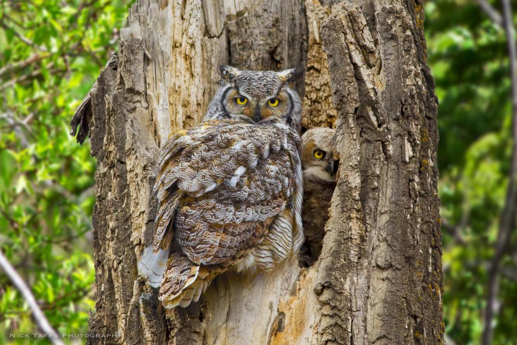 Two great horned owls intently watch me as the huddle into the hollow of a fallen tree. There is actually two babies, however momma is standing in front of the second one. The father always stayed in a tree nearby and kept a watchful eye on any visitors.