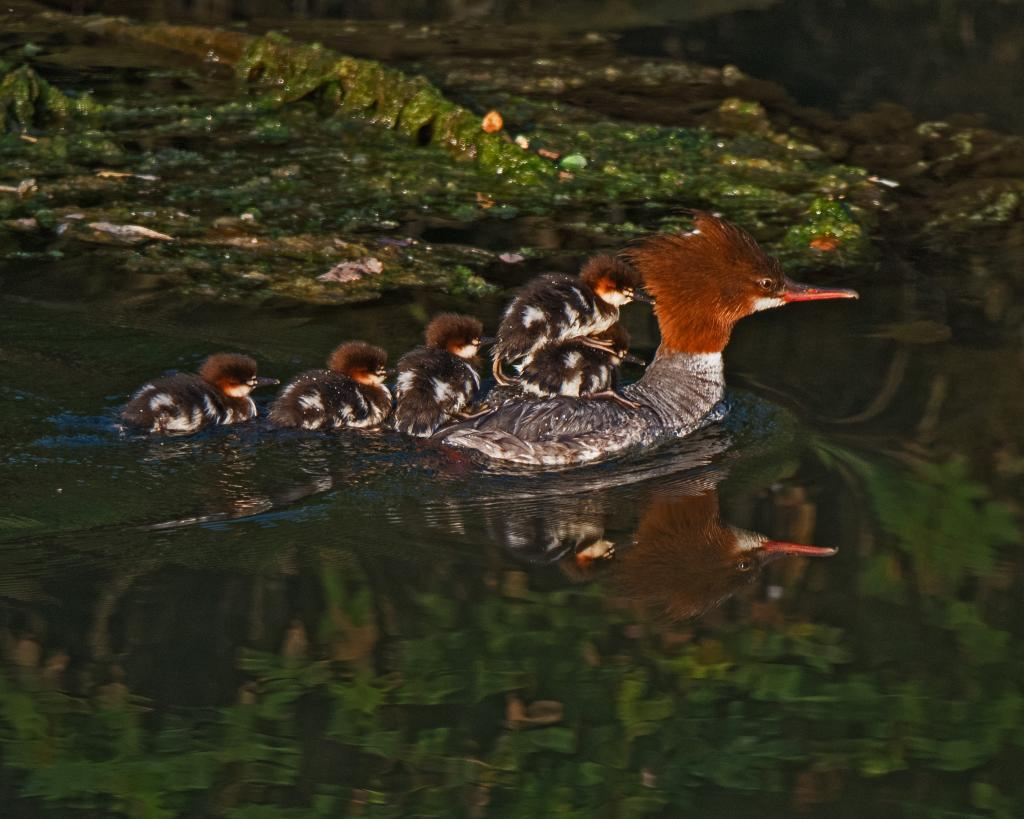 The Cowichan Bay Estuary where the Cowichan River meets Cowichan Bay is another great place for Ducks, River Otters Eagles and other birds of pray.  This is how a Common Merganser Mom carries her chicks.