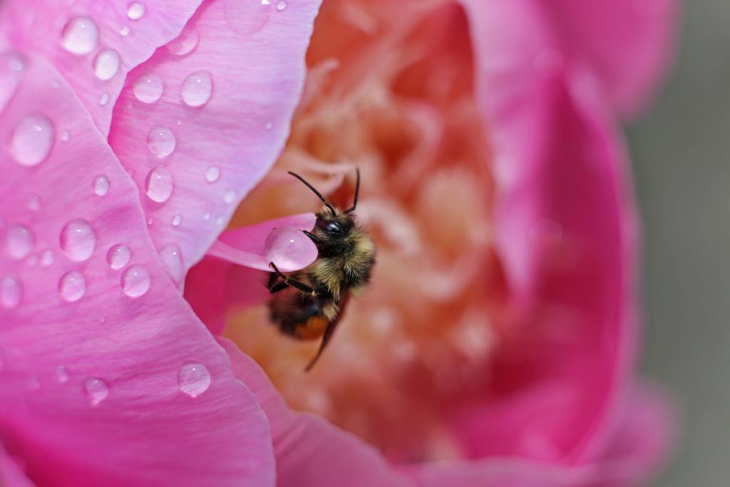One of Coquitlam's resident bees catching a raindrop and some shelter in my neighbour's garden. It was facinating to photograph as it seemed to be drunk on the sweet nectar  of the flower.