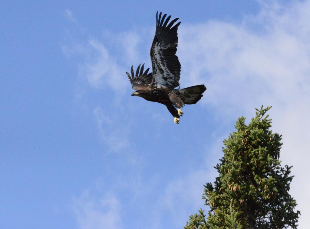 A juvenile bald eagle taking off - Flin Flon, Manitoba.