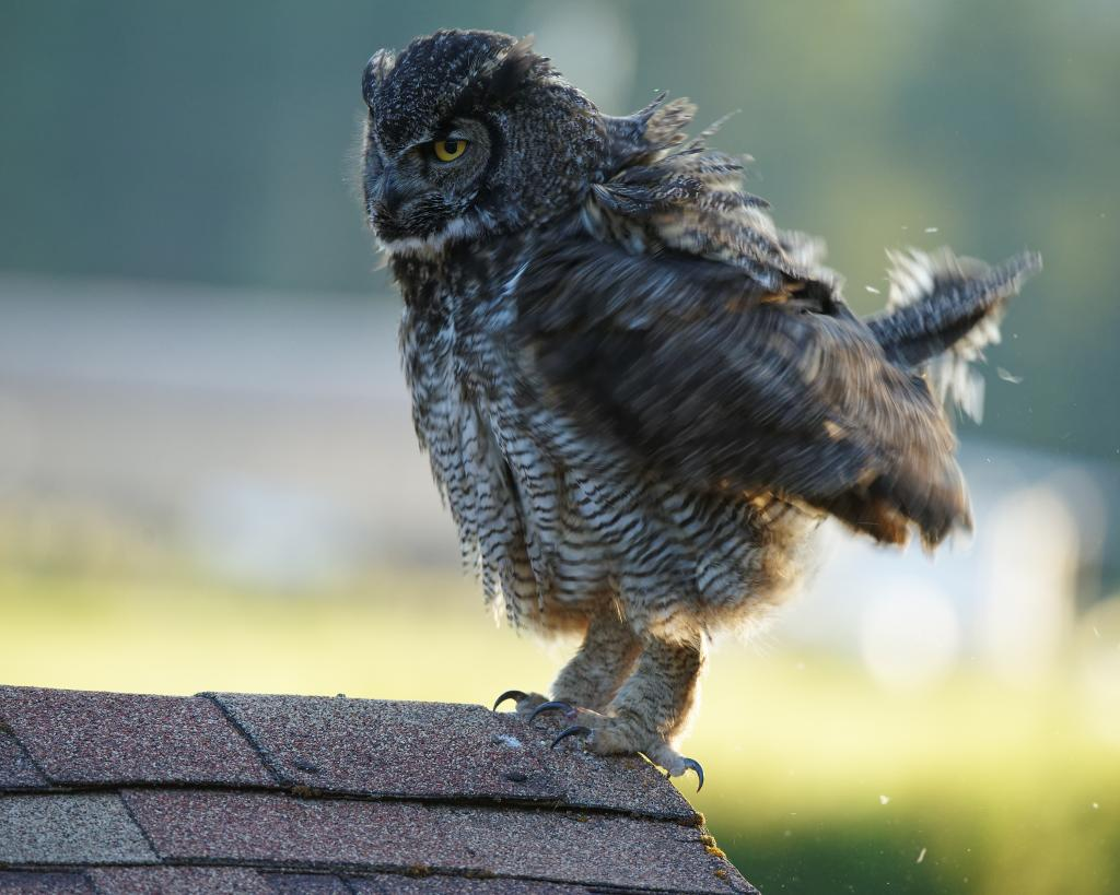 Our farm has about 5 acres of heavy forest and we are visited by birds of pray often.  This Great Horned Owl seemed to like the roof of our garage, the Robbins weren't too happy about it though.  He/she didn't seem to mind my intrusion at all.