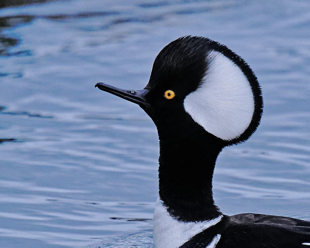 Quamichan Lake, subject Hoodie. A Male Hooded Merganser posed for a portrait.<br />Love this little guy.