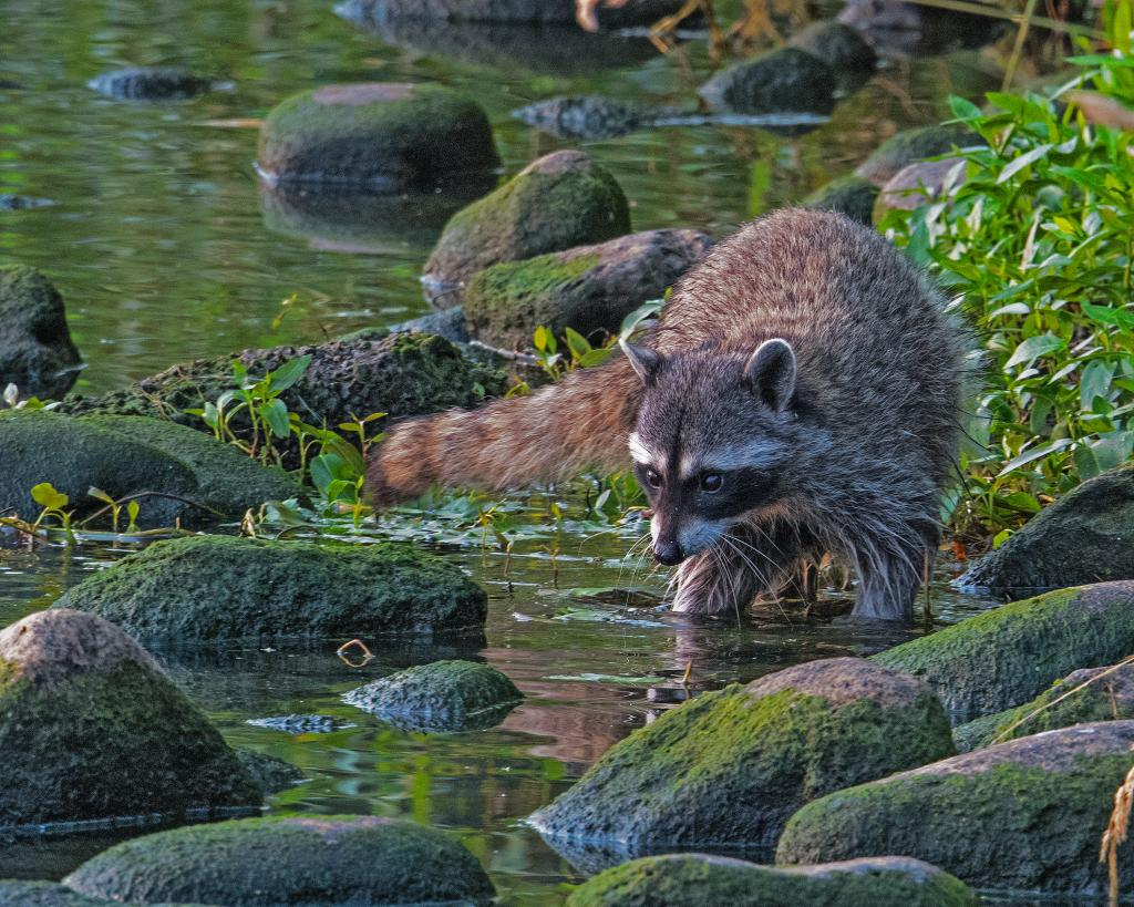 Quamichan Lake,  This Raccoon came out of the bushes down to the water looking for something to eat.   I didn't notice him/her until I finished taking some Duck shots and as I turned around I was able to get a few shots off before it ran off.