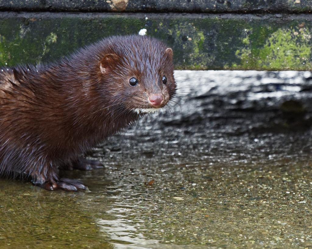 Returning to Quamichan lake this little Mink is a regular visitor and is somewhat interested in the noise from my camera.  So I indulged him/her and as I did it bolted right between my feet and into the lake.  That was to say the least, really an experience. Not knowing it's intention I stood fast, he/she was gone in seconds.   Just one thing left to do, change my pants.