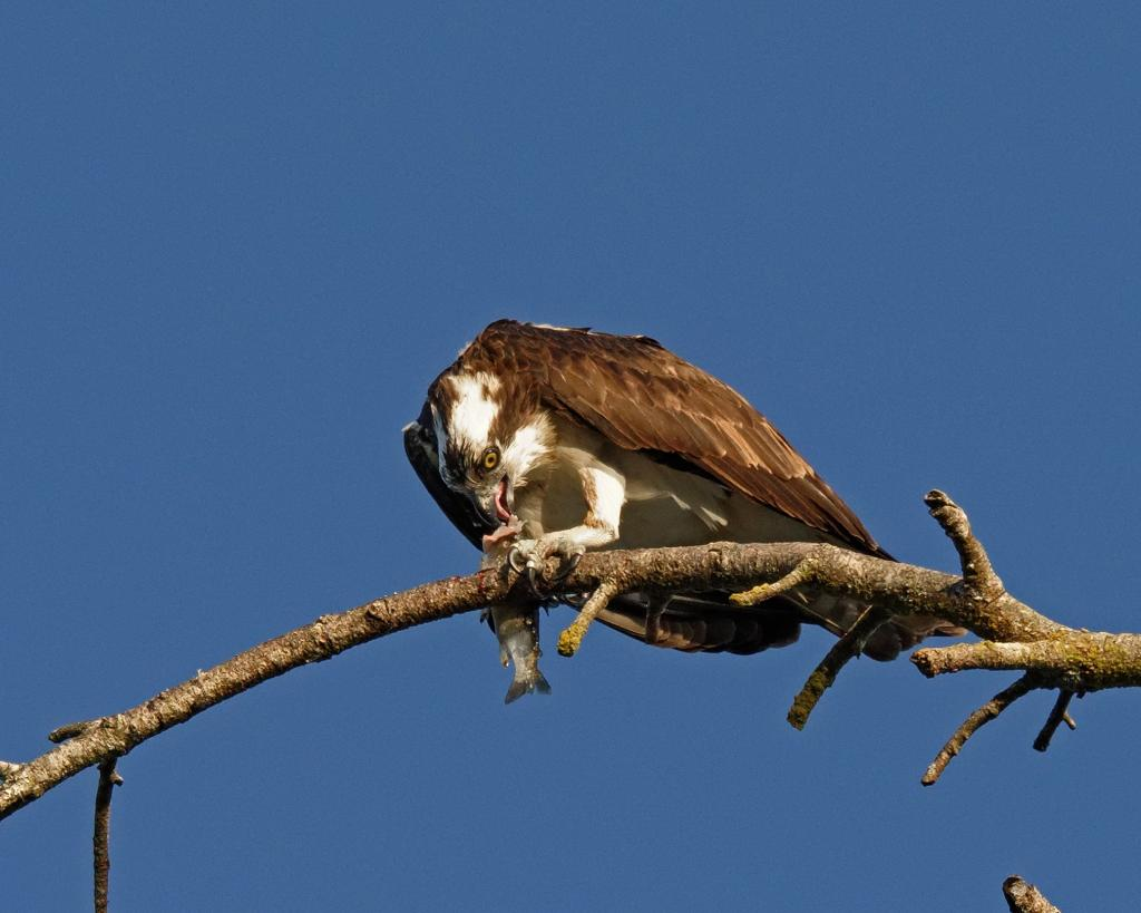 Quamichan lake once again.  Quamichan lake is stocked with Trout and attracts fishermen of all kinds from Humans to Eagles and other fish eating birds such as this Osprey that decided to have it's breakfast on the tree branch above my head.