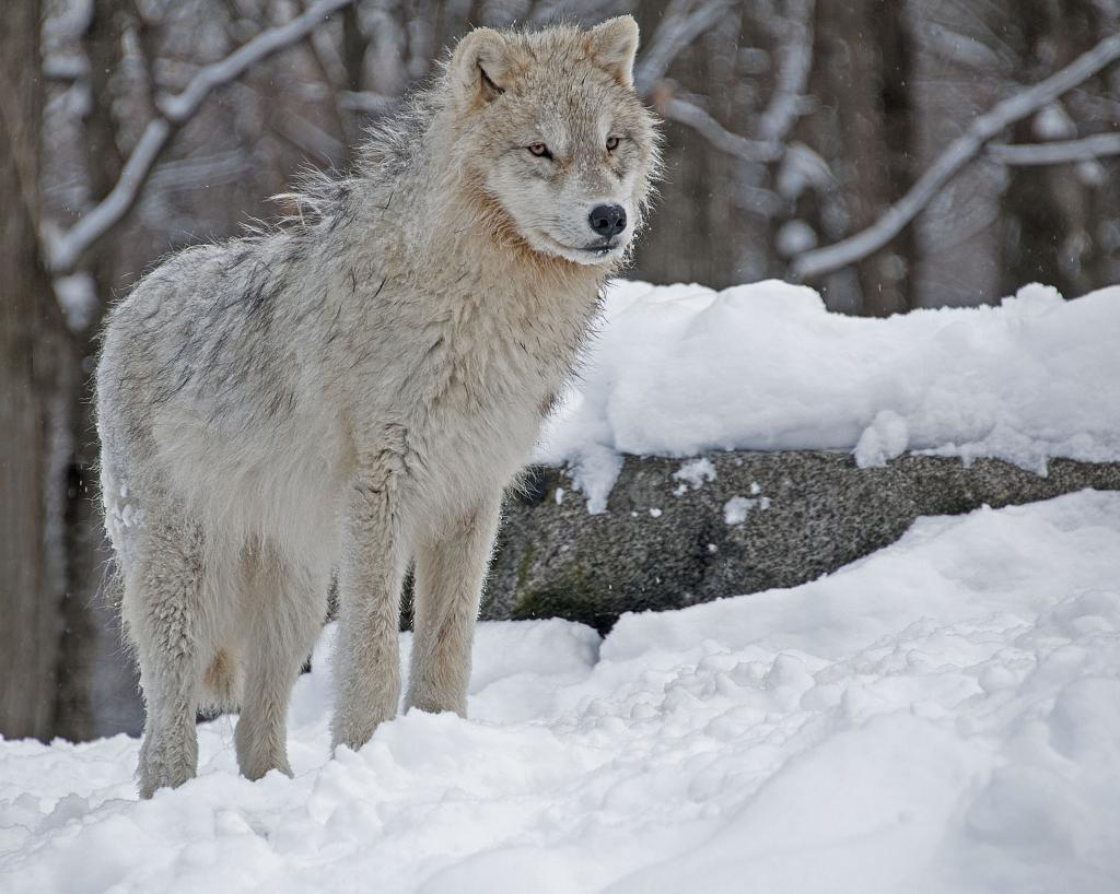on a photographic trip in Northern Quebec was fortunate to enjoy seeing a group of Artic wolves