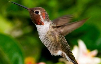 Hummingbirds process motion in unique way