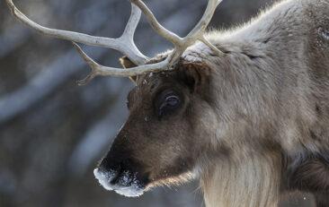 Who Benefits from Caribou Decline?