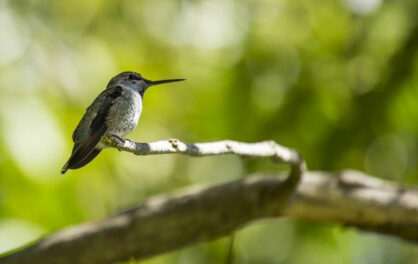 High altitudes hamper hummingbirds' ability to maneuver