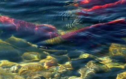 Pacific Ocean 'blobs' will escalate loss of fish stocks